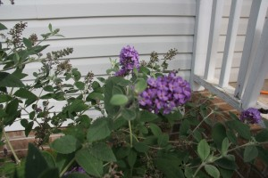 My butterfly bush - it has taken over the corner I planted it in!