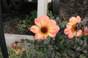 The colors of the Mystic Dahlia are so pretty and even great for the fall time.