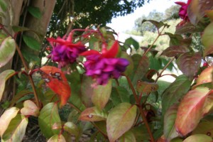 This is a Fuchsia flower, they are the most vibrant colored flowers I have ever seen.
