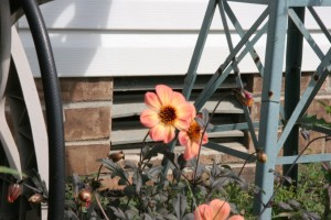 Another shot of the Mystic Dahlia, the rust and orange color are so perfectly matched.